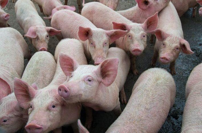 La peste porcine africaine a frappé la Chine en 2019 et a causé la disparition de ...