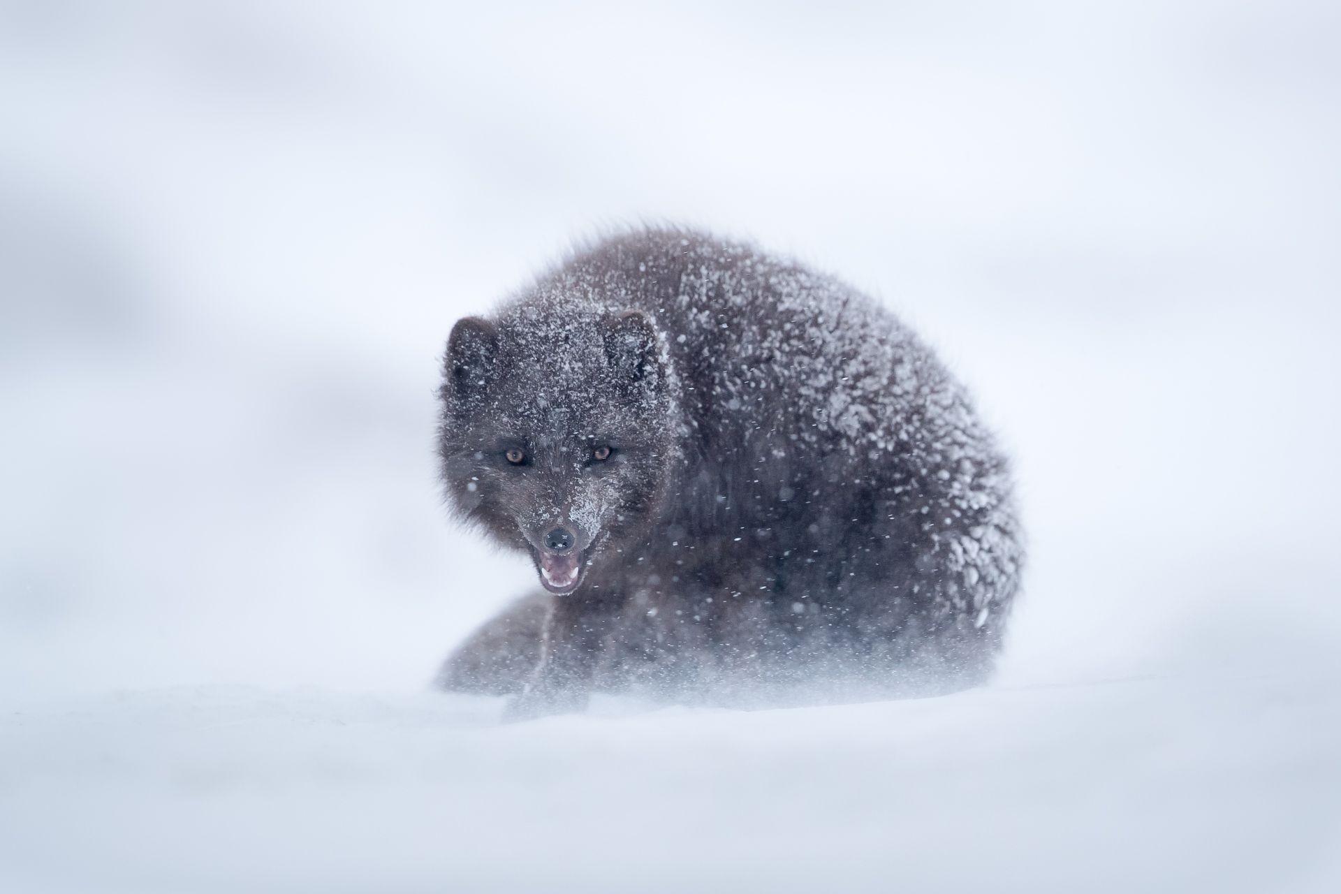 """""""Je voulais photographier un genre très rare de renard polaire bleus dans leur froid environnement naturel"""" ..."""