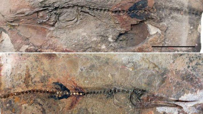 Les deux faces du fossile récemment découvert. Le spécimen a été préservé dans ce qui avait ...