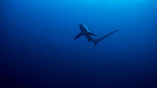 Il y a 19 millions d'années, l'effondrement inexpliqué des populations de requins