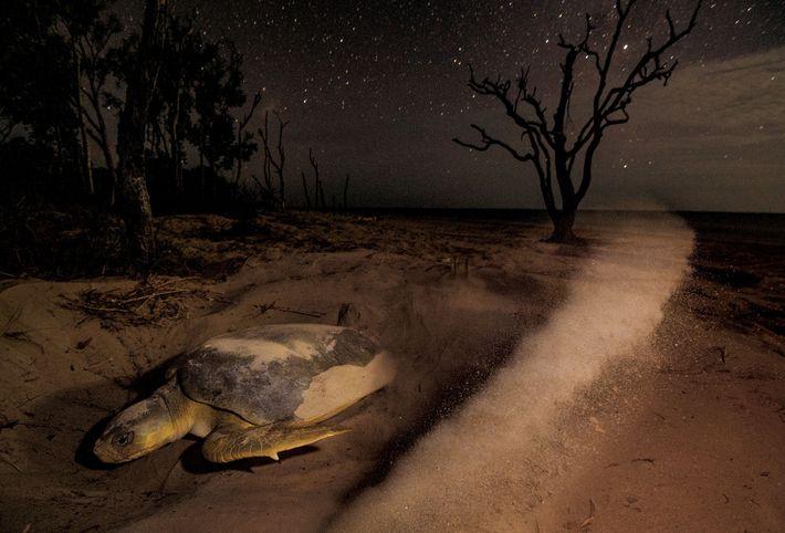 Une tortue de mer à dos plat soulève le sable en creusant un nid sur l'île ...