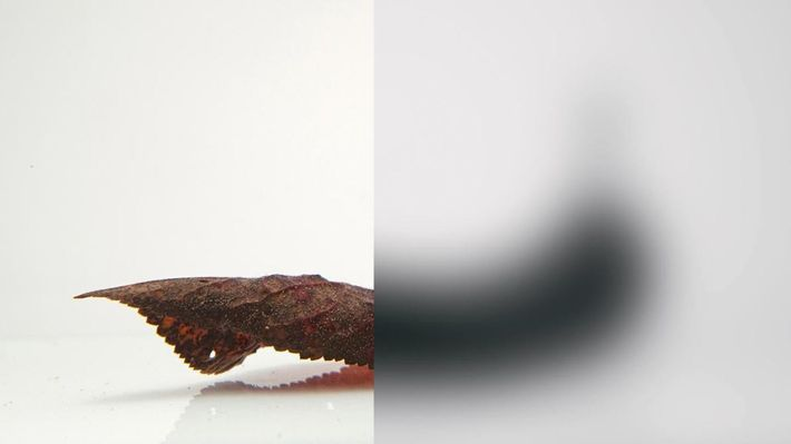 Dugesia dorotocephala - Les yeux des vers plats se composent de petites coupes de cellules photoréceptrices ...