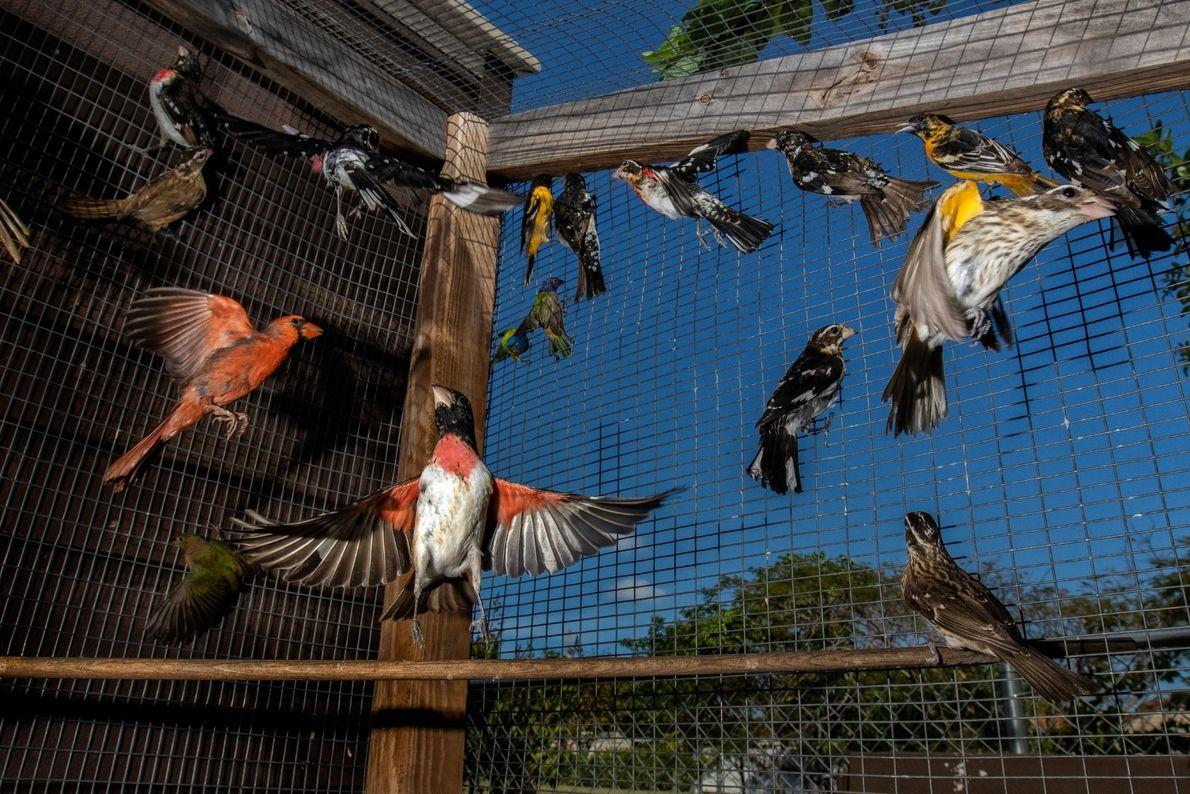 Des milliers de passereaux migratoires sont capturés en Floride chaque année pour alimenter un marché noir ...