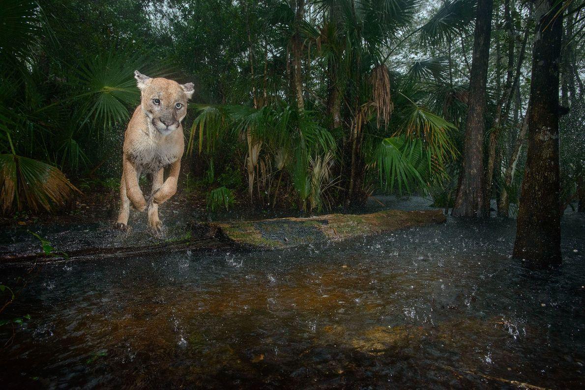 Une panthère de Floride mâle saute au-dessus d'un ruisseau du refuge faunique national Florida Panther. Ce ...