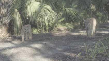 Rare - Une panthère de Floride et son petit ont été filmés aux États-Unis