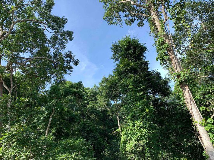 Dans cette étendue verte, il manque un géant : le teck.