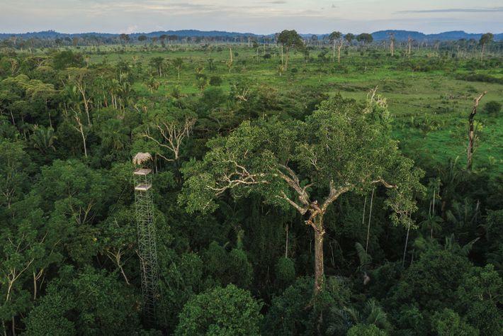 Aujourd'hui, les harpies habitent surtout la forêt humide d'Amazonie, où la déforestation au profit de l'élevage ...