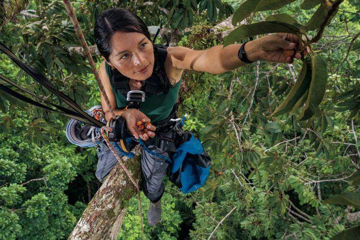 La botaniste Ruthmery Pillco Huarcaya récolte les graines d'un muscadier fou sauvage dans les dernières parcelles ...