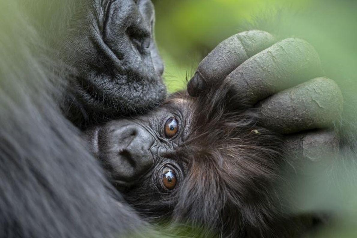 Après une nuit pluvieuse et froide, une maman gorille câline son petit de trois mois. Les ...