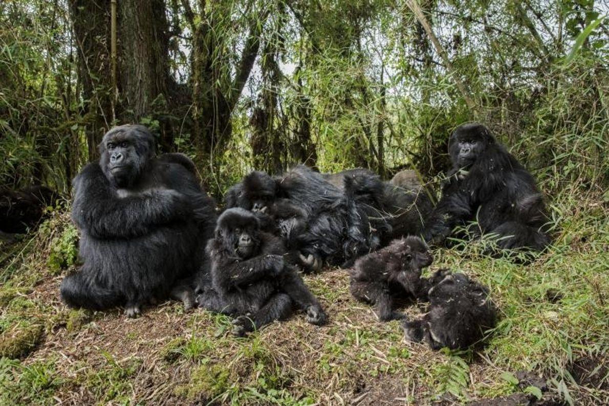 Si la primatologue Dian Fossey n'avait pas fortement œuvré pour la protection des gorilles et la ...