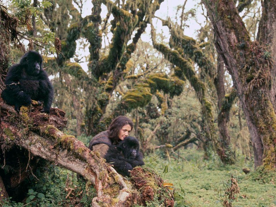 Que sont devenus les gorilles de Dian Fossey ?
