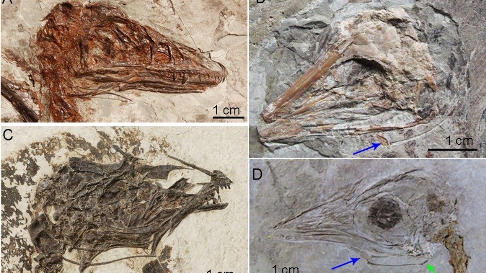 Des fossiles de dinosaures mis au jour dans le nord-est de la Chine présentaient des os ...