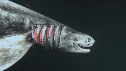 Le requin frangé, un poisson sorti tout droit de vos pires cauchemars