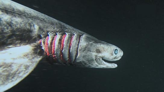 Rarement observé, le requin-lézard capture ses proies en pliant son corps et bondit en avant comme ...