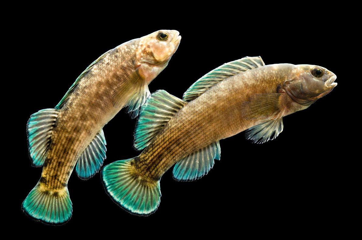 Ces poissons appartiennent à l'espèce vulnérable Etheostoma wapiti, elle-même comprise dans la famille des percidae. On ...