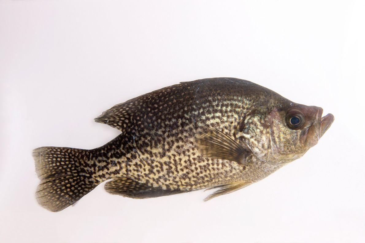 Le poids du marigane noire (Pomoxis nigromaculatus), comme celui-ci, peut dépasser les 2kg.
