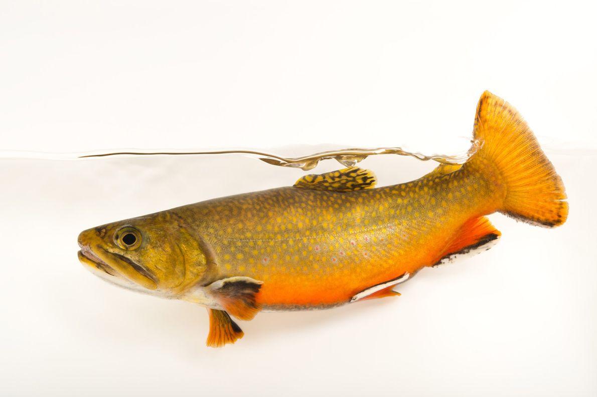 La truite mouchetée (Salvelinus fontinalis) du nord des Appalaches est une espèce proche des ombles Arctique.