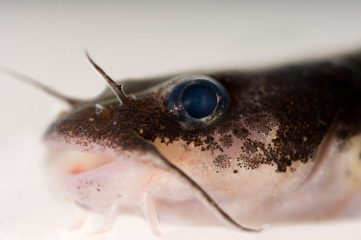 Parents du poisson-chat, les Noturus crypticus sont une espèce en danger critique d'extinction. Seuls trois d'entre ...