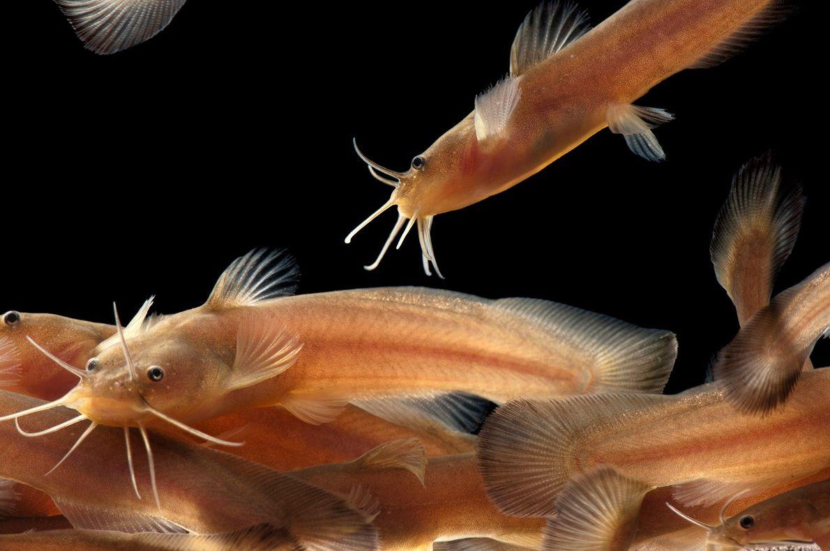 Les Noturus lachneri sont une espèce rare de poissons de ruisseaux native de l'Arkansas.