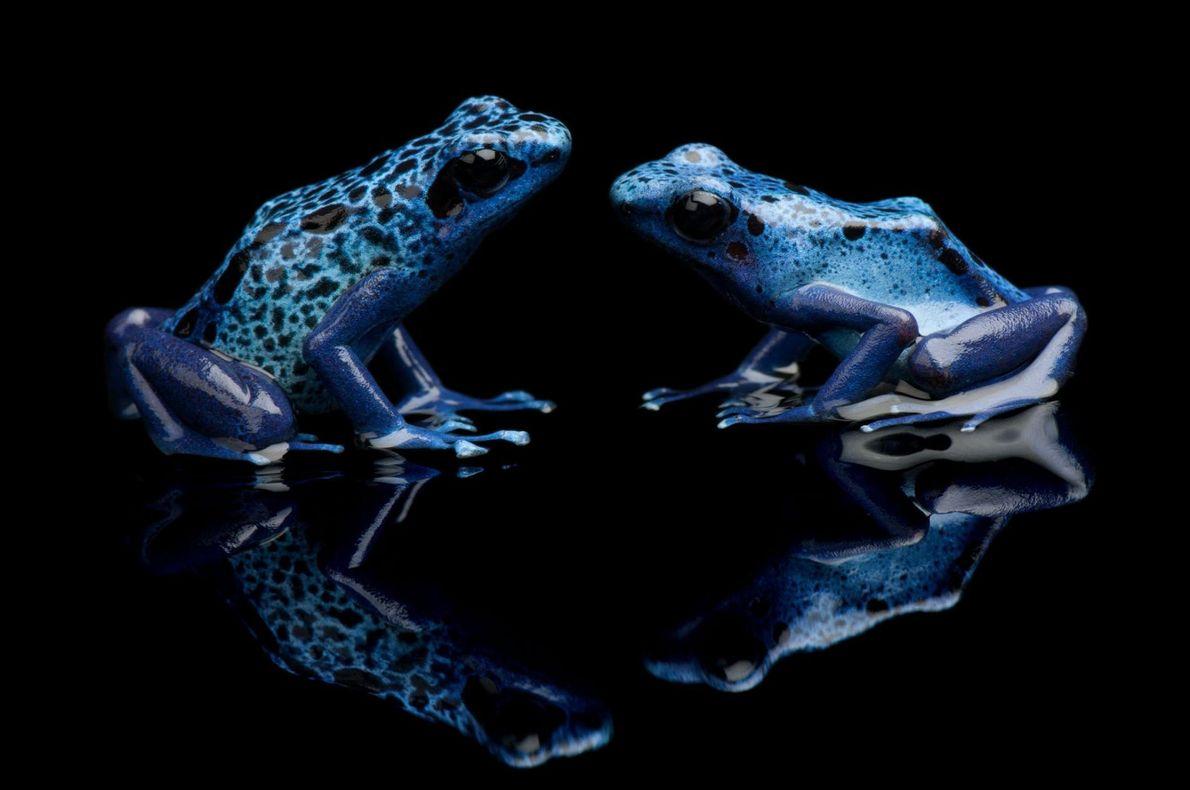 Dendrobate bleue