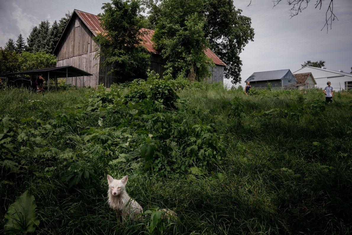 Un renard polaire répondant au nom de Rowyn se prélasse au soleil devant la grange de ...
