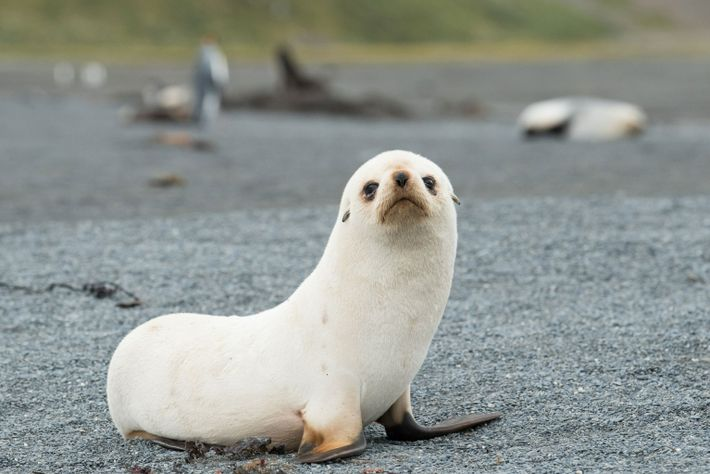 fur-seal-mauritzen