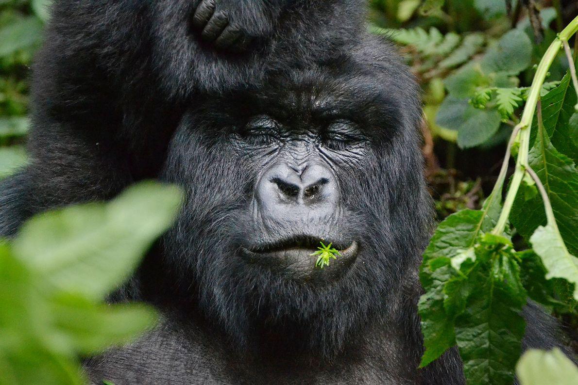 Les Gorilla Doctors documentent la santé des primates de la région dans les bilans mensuels. Ishema, ...