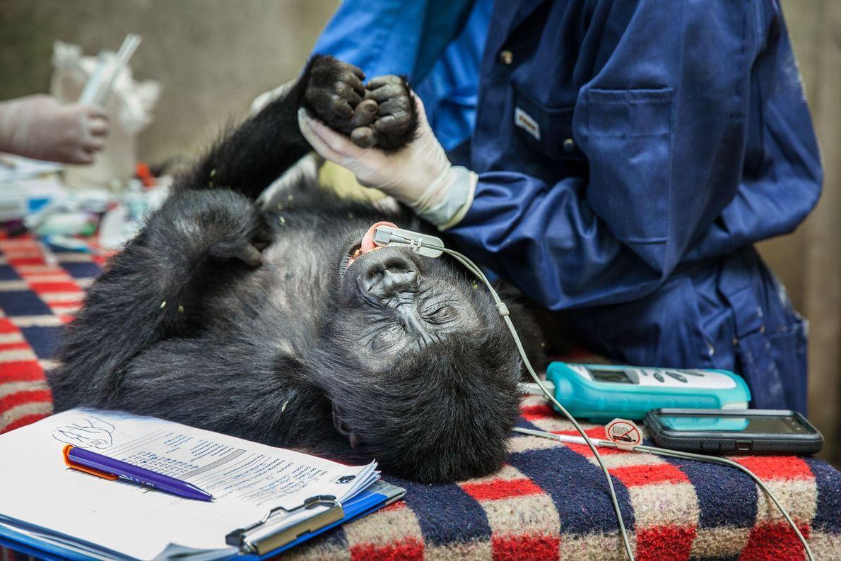 Lorsque les gorilles sont sauvés des braconniers, ils sont examinés par les Gorilla Doctors. L'examen de ...