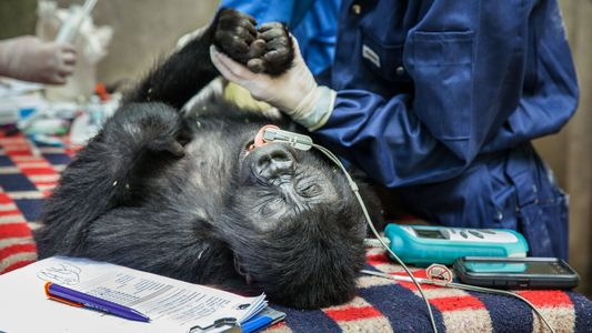 Au secours des derniers gorilles de montagne