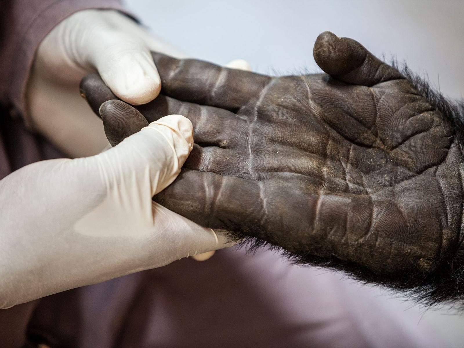 Le vétérinaire Eddy Kambale tient la main de Maisha, un gorille de montagne âgé de 16 ...
