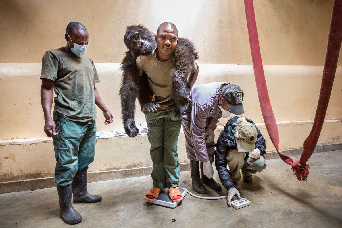Ndakasi, un gorille de 10 ans, est sous sédation. Patrick Karabaranga, l'un des gardiens qui vivent ...