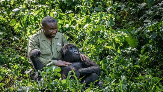 André Bauma, le directeur du Centre Senkwekwe, joue avec Ndakasi. Le jeune gorille a été trouvé ...