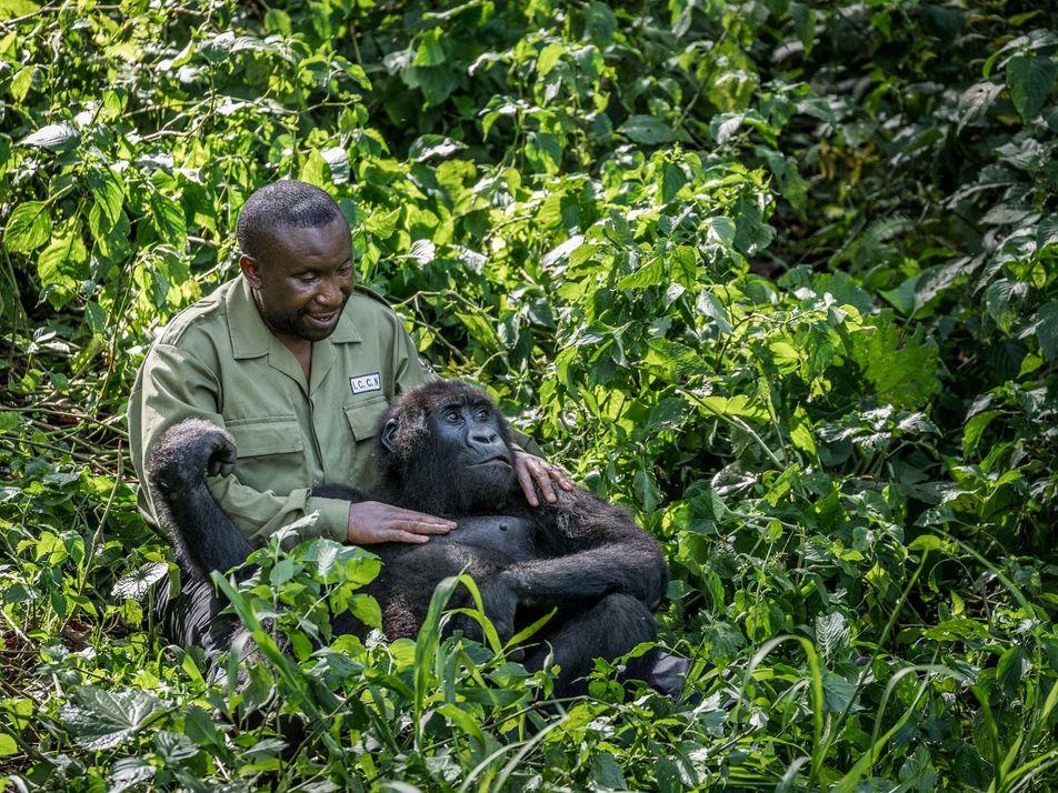 Ces vétérinaires risquent leurs vies pour sauver les gorilles de montagne
