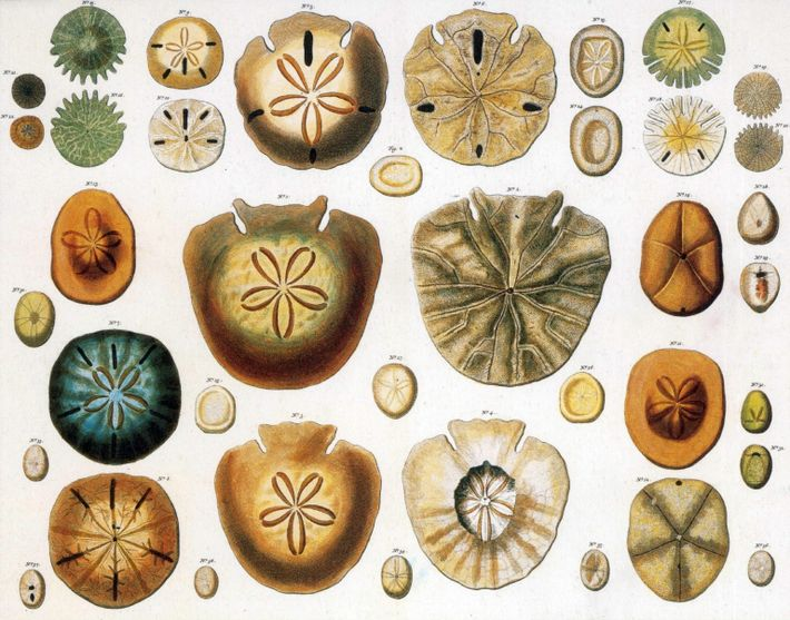 Sand dollars and heart urchins. The term sand dollar refers to species of extremely flattened, burrowing ...