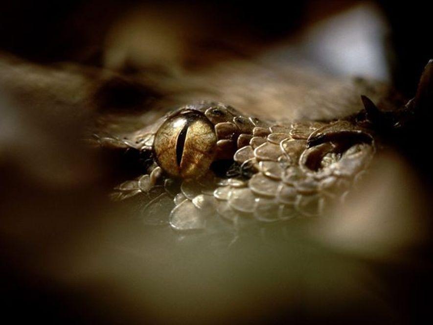 Ce gros plan donne à voir l'œil vigilant d'une vipère du Gabon, la plus grande vipère ...