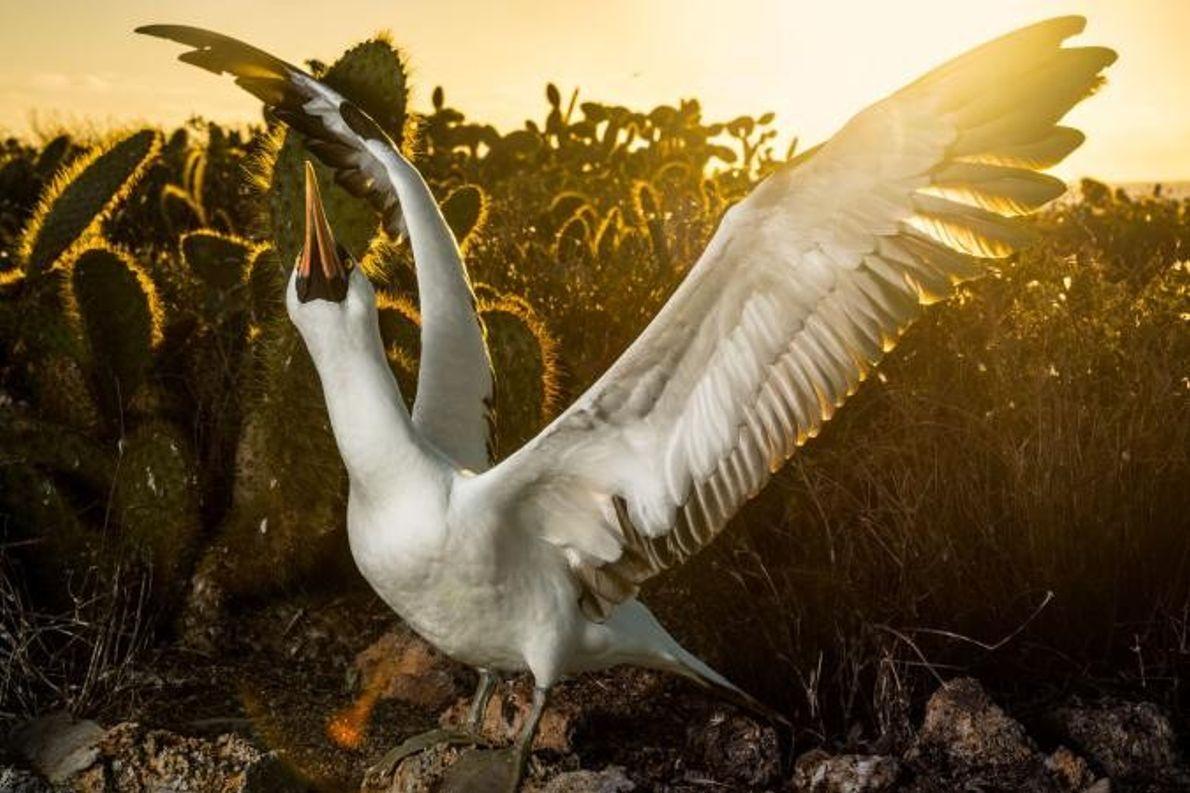 Après la chasse, un fou de Grant revient à son nid non loin de la broussaille ...