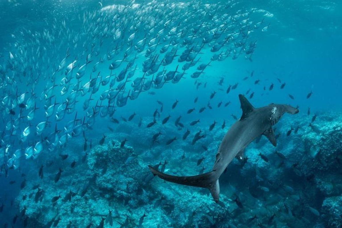 Un requin-marteau halicorne croise un groupe de poissons endémiques des îles des eaux tropicales du Pacifique. ...