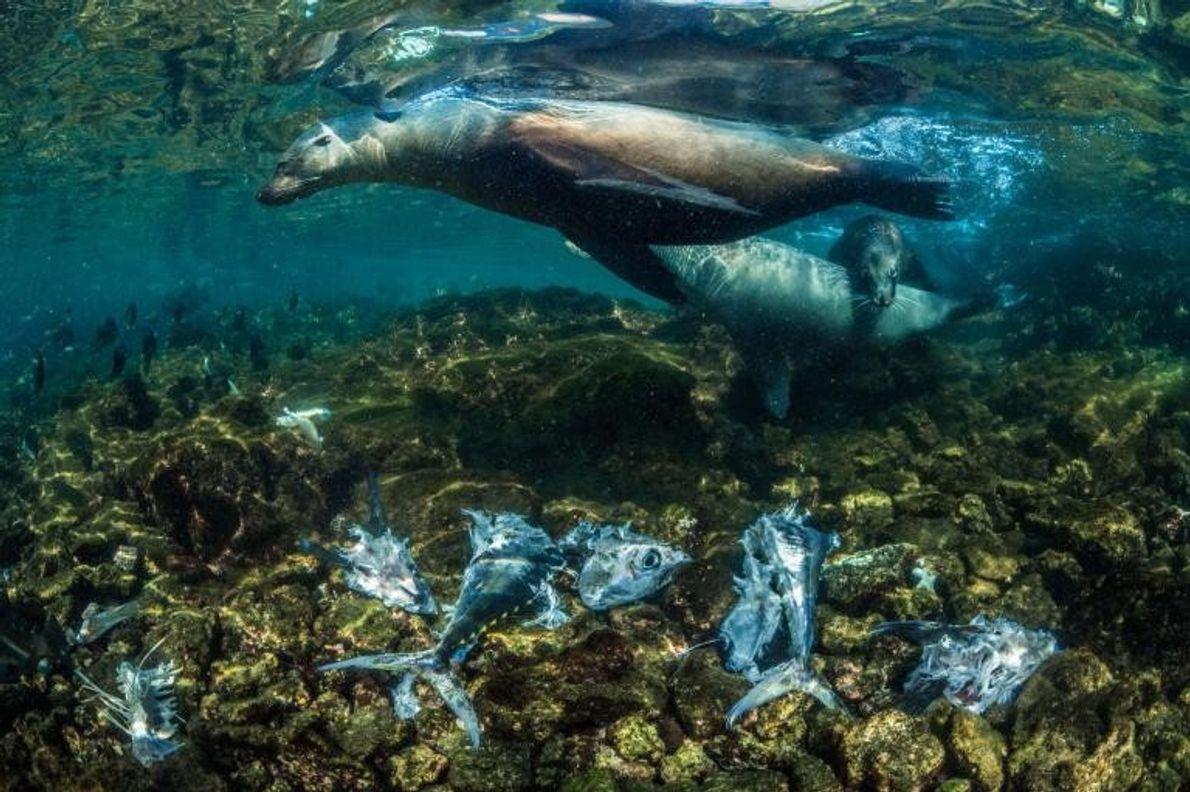 Un petit groupe d'otaries endémiques des Galápagos chassent les thons jaunes en les poussant près des ...