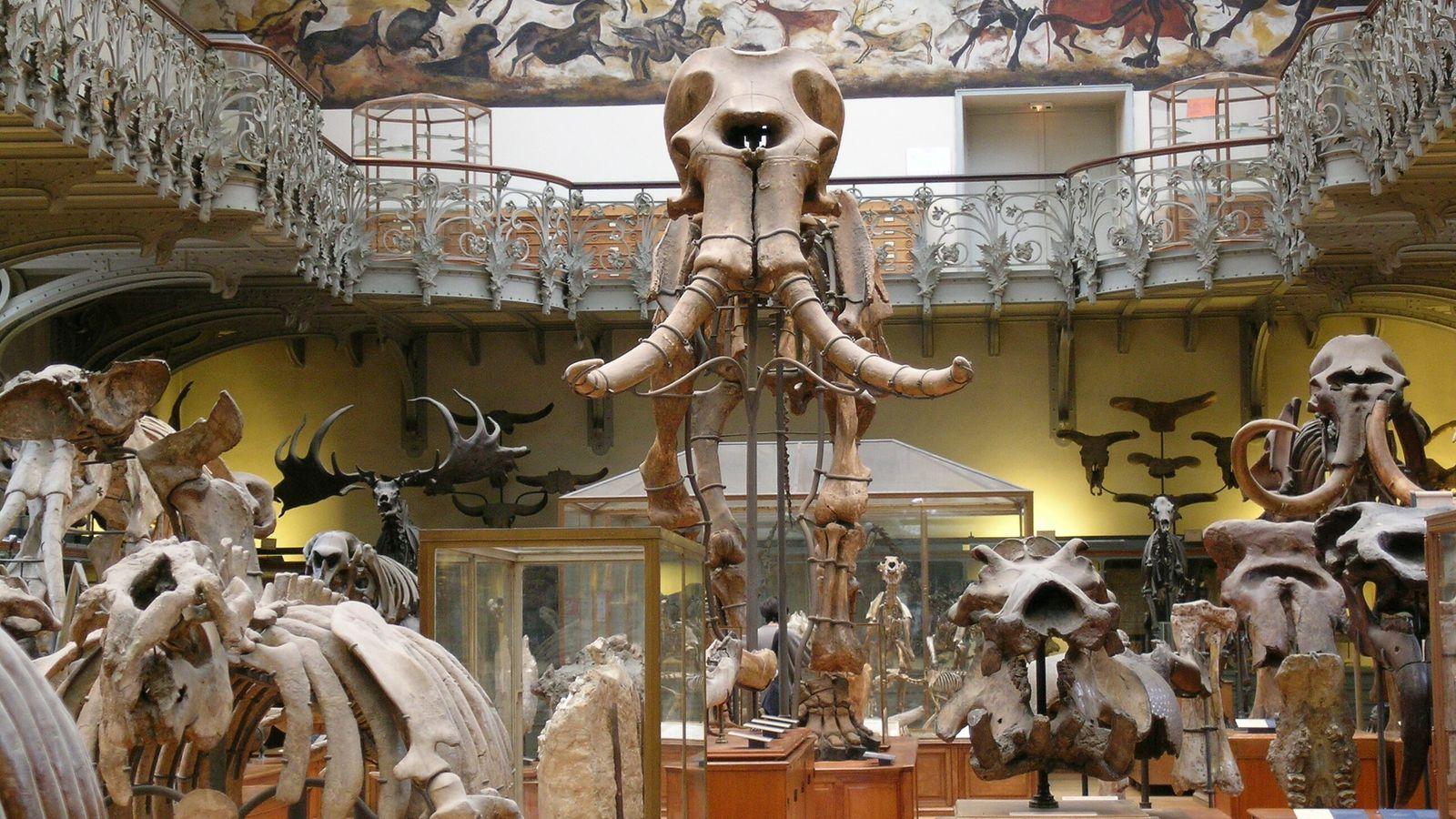 Le mammouth de Durfort trône dans la galerie d'Anatomie comparée et de Paléontologie du Muséum national ...