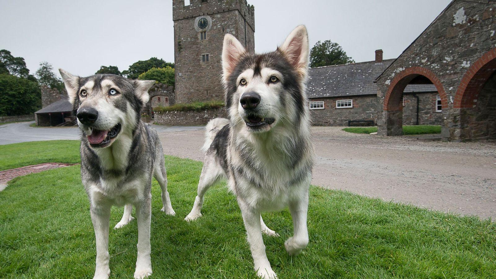 Odin et Thor sont des inuits du Nord, une race issue d'un croisement entre les huskys ...