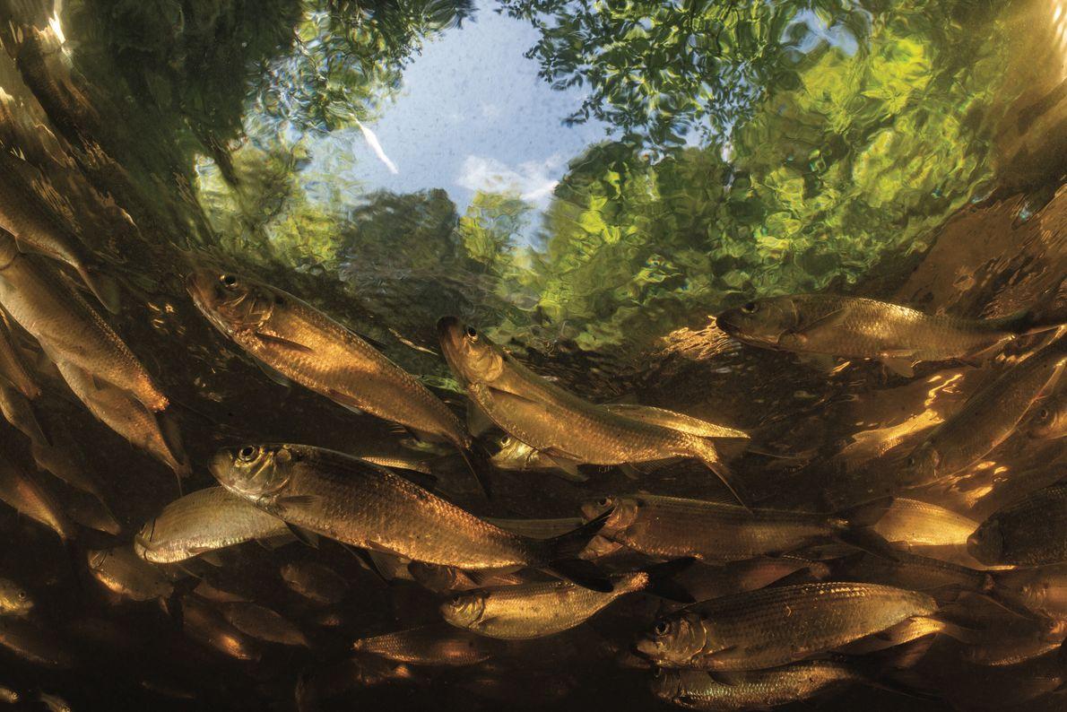 Le barrage disparaît, la rivière renaît. Westbrook, Maine, États-Unis. Les gaspareaux, des cousins du hareng longs d'environ ...