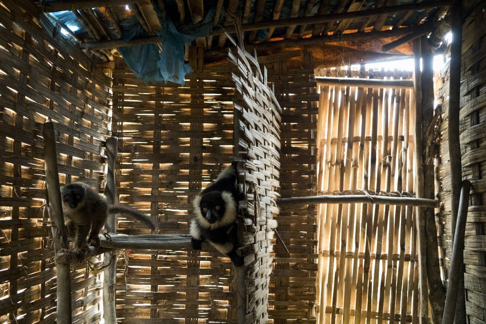 Bridola, un lémurien fauve (à gauche) et Roki, un vari noir et blanc, sont gardés comme ...