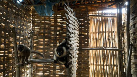 Madagascar : les mines de saphirs condamnent les lémuriens à l'extinction