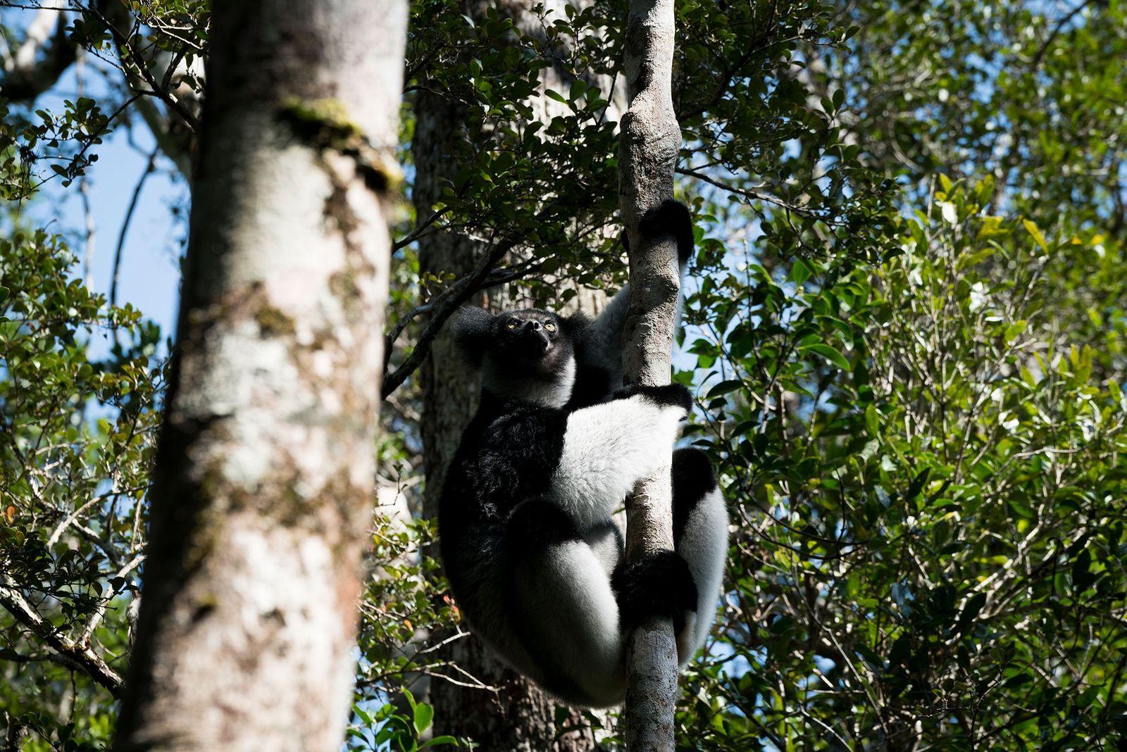 Un indri, le plus grand des lémuriens qui subsistent encore, s'agrippe à un arbre dans le ...