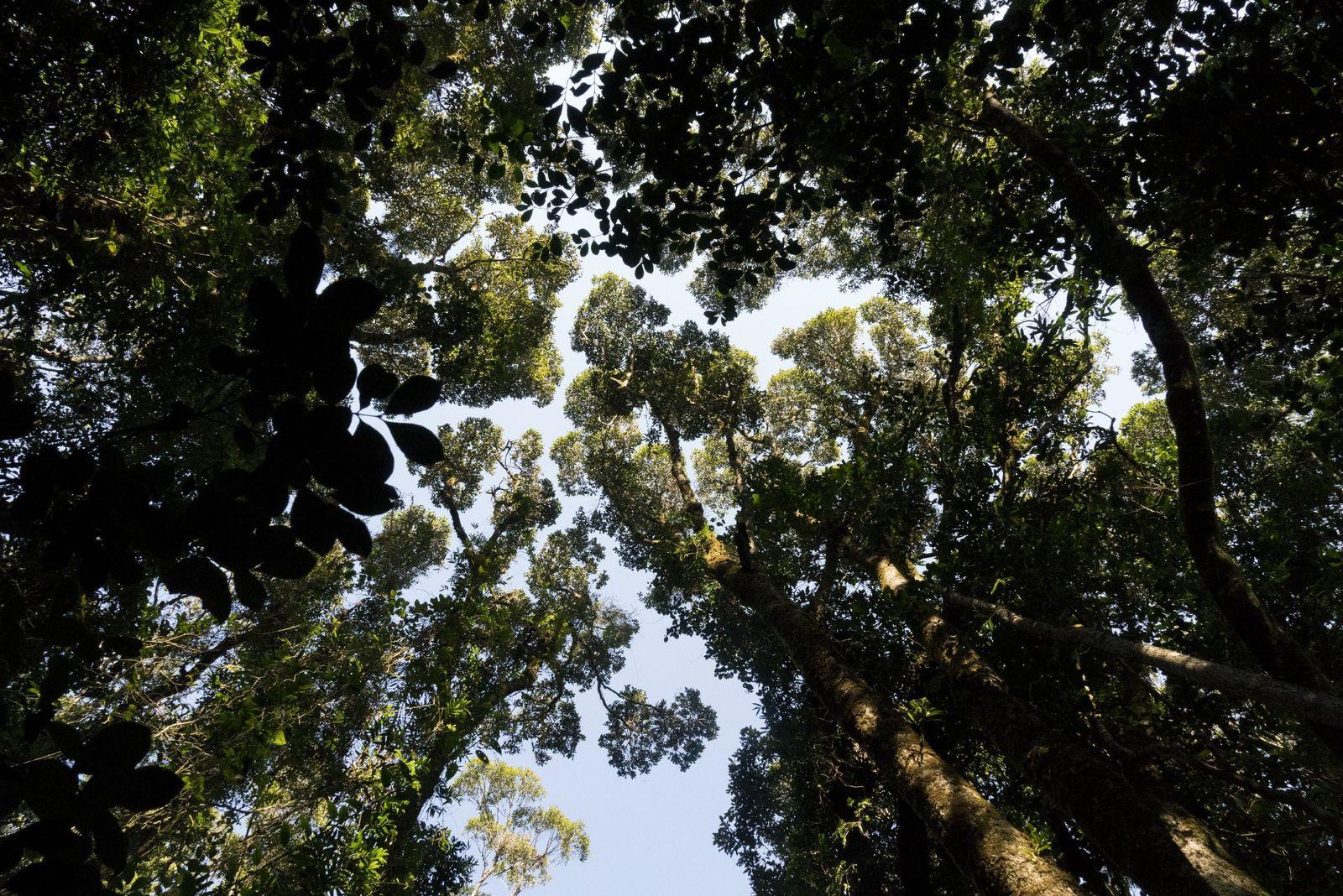 12 espèces de lémuriens vivent dans la canopée du parc national Ranomafana, dont une que l'on ...