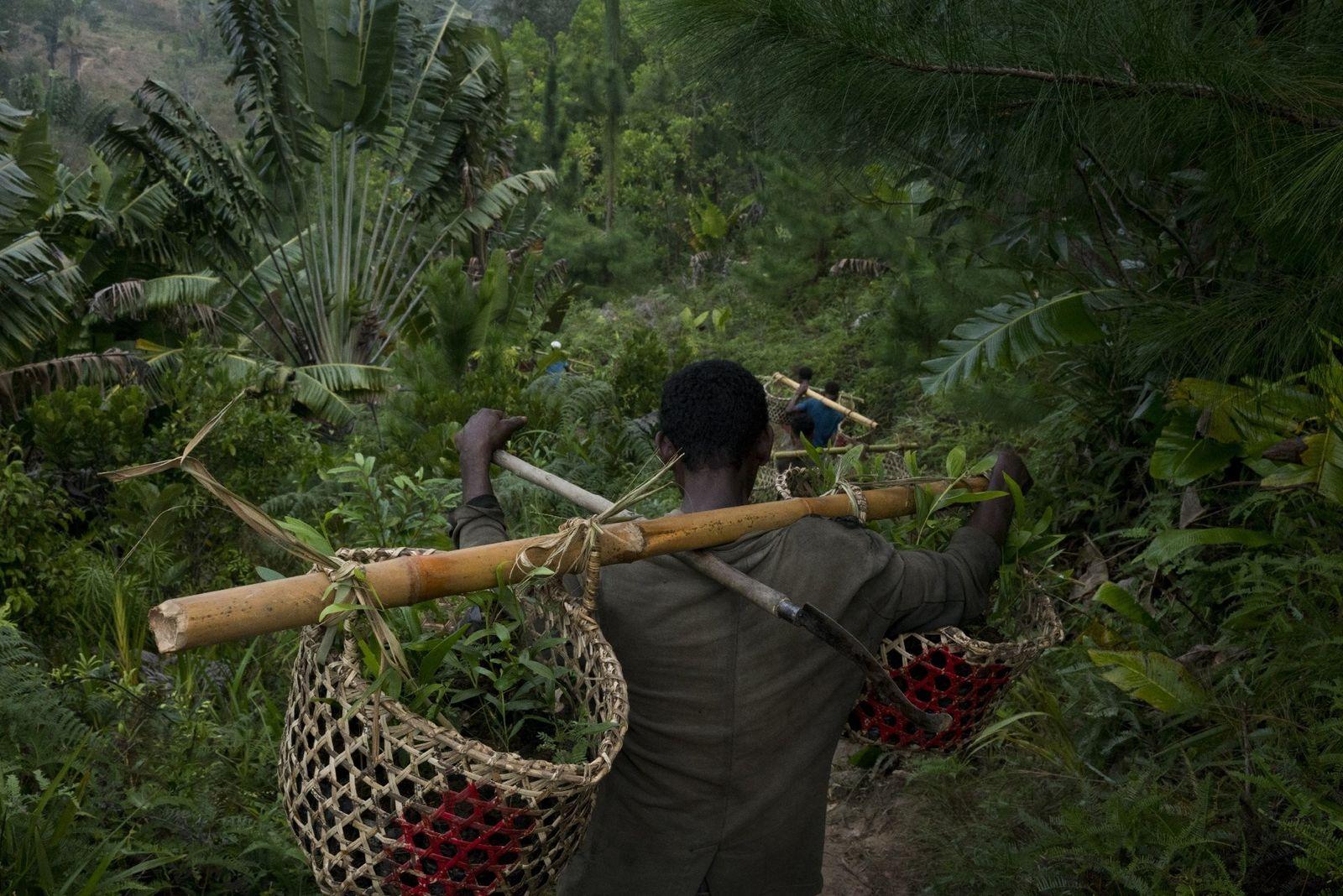 Des employés de Madagascar Biodiversity Partnership transportent des paniers contenant 25 jeunes pousses d'arbres chacun, qui ...