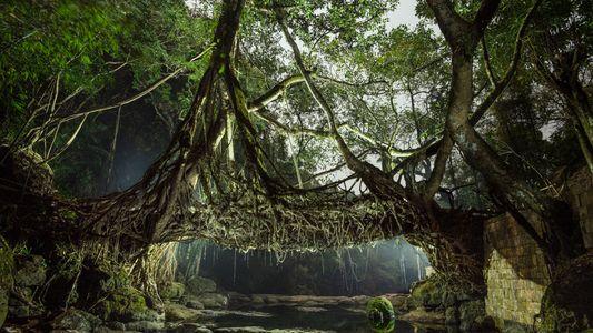 Dans l'une des régions les plus humides de la planète, les arbres forment des ponts vivants