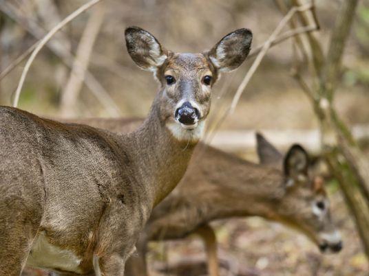 COVID-19 : des anticorps ont été détectés chez des cerfs sauvages