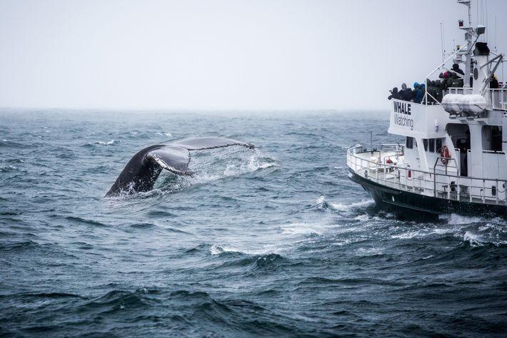 Une baleine à bosse plonge à proximité d'un bateau d'observation de la faune au large de ...