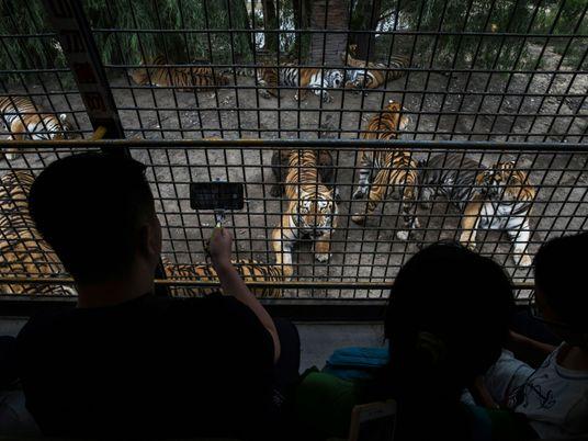 Un projet de rapport commandé par l'UICN légitimerait l'élevage de tigres en captivité